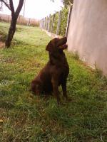 Foto 4 wunderschöne schoko labrador Welpe zvk!