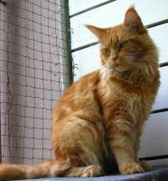 Foto 2 wunderschöne sehr liebe rote reinrassige Maine Coon Katze mit Stammbaum