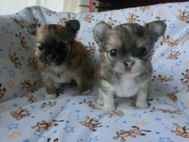 wunderschöne, reinrassige, langhaar Chihuahua Welpen, 11 Wochen alt, geimpft und gechipt