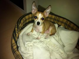 Foto 2 wunderschöner Chihuahua Welpe (A-Wurf/ Rüde)