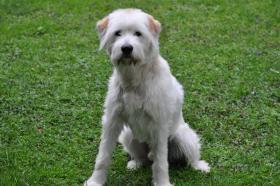 Foto 2 wunderschöner junger weißer Goldenretriever-Schnauzer-Mischling sucht Sie