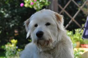 Foto 3 wunderschöner junger weißer Goldenretriever-Schnauzer-Mischling sucht Sie