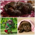 zauberhafte SCHOKO-Krümel, braune Labrador-Welpen