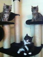 zuckersüße Maine Coon Kitten abzugeben