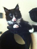 Foto 3 zuckersüße Maine Coon Kitten abzugeben