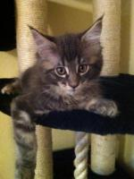 Foto 4 zuckersüße Maine Coon Kitten abzugeben