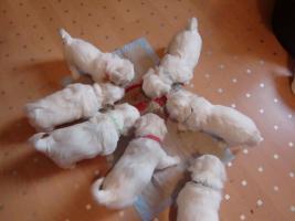 Foto 4 zuckersüße reinrassige Malteser Babys zu verkaufen