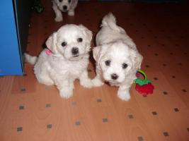 Foto 5 zuckersüße reinrassige Malteser Babys zu verkaufen