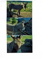 zwei Esel zu verkaufen